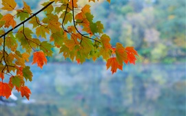 Maple leaves, branch, autumn, red, green, bokeh