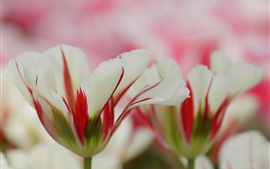 Preview wallpaper White red petals, flowers, blur