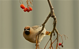 Preview wallpaper Birds, waxwing, twig, berries