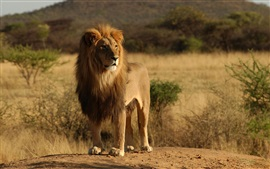 Preview wallpaper Feral cats, animals, lion, Africa