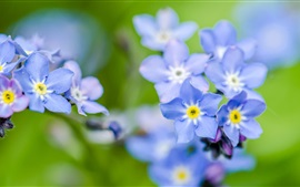 Preview wallpaper Forget-me flowers, blue
