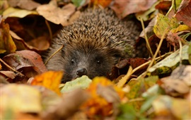 Preview wallpaper Hedgehog hidden, leaves