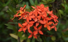 Preview wallpaper Ixora chinensis, red flowers