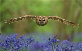 Coruja, pássaro, voo, asas, flores