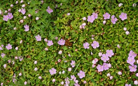 Preview wallpaper Parnassia palustris, many pink flowers