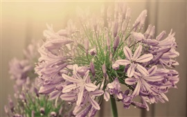 Purple flowers, inflorescence, water droplets, fog