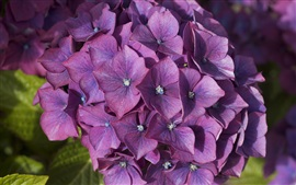 Preview wallpaper Purple hydrangea, inflorescence, flowers