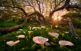 Sunrise, trees, calla lilies, white flowers, glare