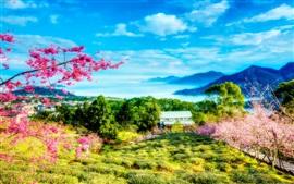 Taiwán, China, primavera, cereza, árboles, montañas, casa