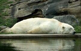 White bear sleeping