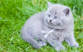 Preview wallpaper British Shorthair, gray kitten, grass