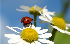 Preview wallpaper Flower, petals, chamomile, insect, ladybug