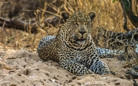Preview wallpaper Leopard, wild cat, predator, sand