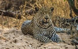 Leopardo, gato salvaje, depredador, arena