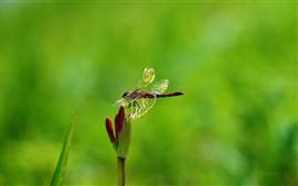 Preview wallpaper Plant, flower, insect, dragonfly
