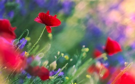 Preview wallpaper Poppies flowers, red, purple, stems, leaves