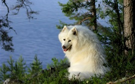 Samoyed dog, river, trees