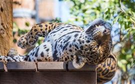 Sono, jaguar, gato selvagem, predador, rosto