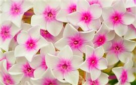 Flores cor de rosa branco, pétalas, macro