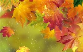 Outono, folhas vermelhas, bordo, gotas da água, chuva