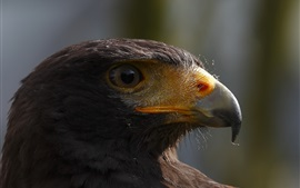 Preview wallpaper Bird close-up, eagle