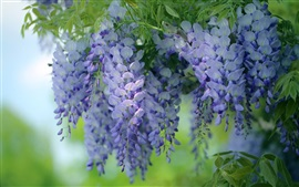 Preview wallpaper Blue flowers, wisteria