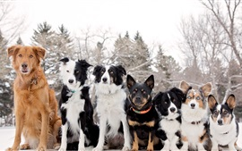 Preview wallpaper Border collie, Welsh Corgi, seven dogs
