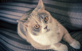 Preview wallpaper British Shorthair, look up, kitten