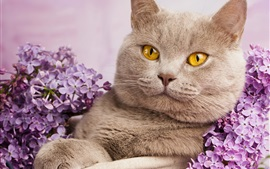 Preview wallpaper British shorthair, yellow eyes, portrait, flowers