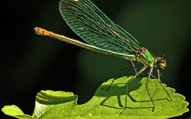 Preview wallpaper Dragonfly, insect, green leaf