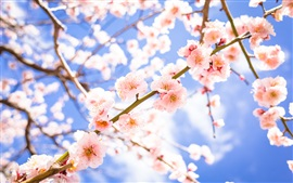 Preview wallpaper Flowers, bloom, spring, pink plum