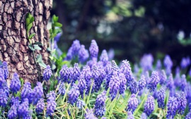 Preview wallpaper Grape hyacinth flowers, blue, forest, trees