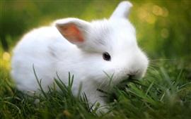 壁紙のプレビュー 緑の草、かわいい白ウサギ