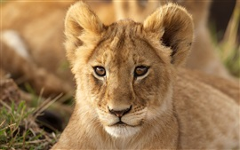 Preview wallpaper Lion cub, look, portrait