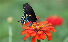 Red flower, petals, black wings butterfly