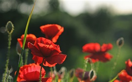 Preview wallpaper Red flowers, poppies, summer