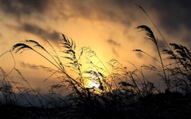 Pôr do sol, grama, planta