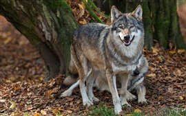 Preview wallpaper Wolves, predators, autumn