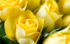 Preview wallpaper Yellow flowers, roses, buds, close-up photo