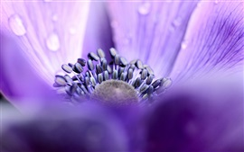 Preview wallpaper Anemone, purple petals, water drops, macro focus