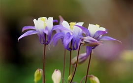 Preview wallpaper Aquilegia, purple flowers, focus