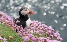 Preview wallpaper Atlantic bird, puffin, skua, flowers