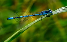Preview wallpaper Blue dragonfly, insect, leaf