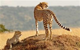 Chita, família, filhote, grama, olhar
