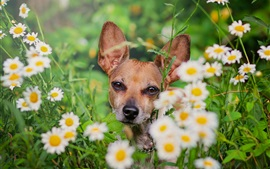Preview wallpaper Dog, daisies, flowers