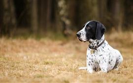 Собака, далматинец, земля