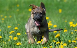 German shepherd, puppy, meadow, flowers