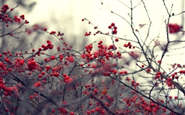 Plantas, galhos, frutos vermelhos, borrão