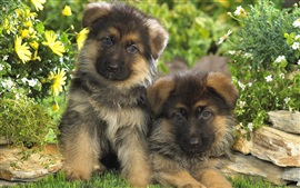 Preview wallpaper Puppies, German shepherd, two dogs