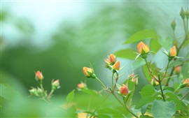 Preview wallpaper Rose, orange buds, green, blur